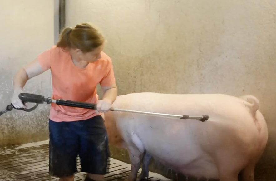 Pranje in razkuževanje plemenskih svinj